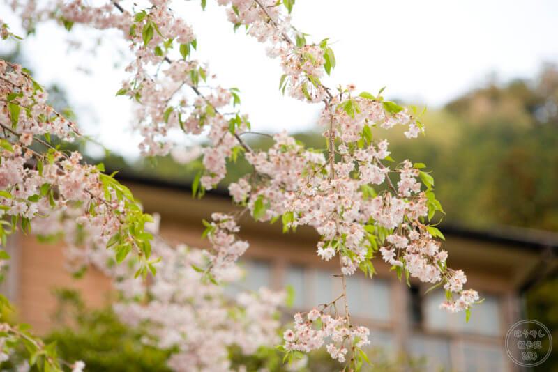 校庭に咲く桜