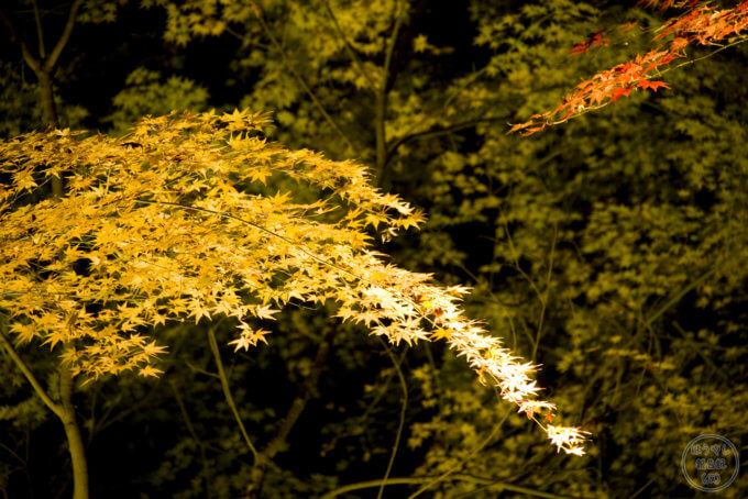 ライトアップされた東郷公園の紅葉