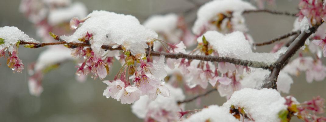 4月なのに雪!?季節外れの積雪×桜のコラボレーション(埼玉県飯能市)