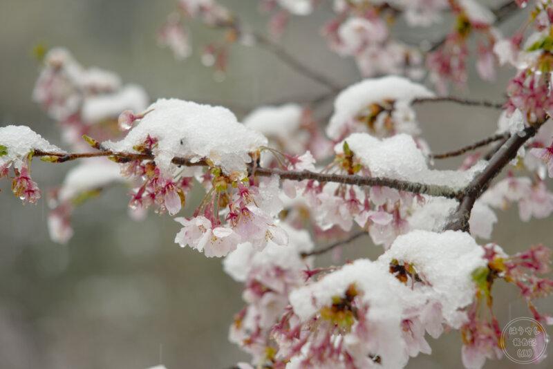 桜に積もった雪