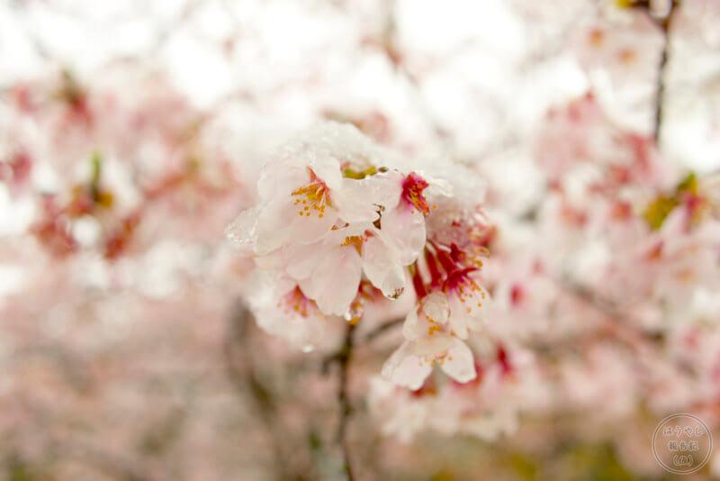 雪解け水が滴る桜