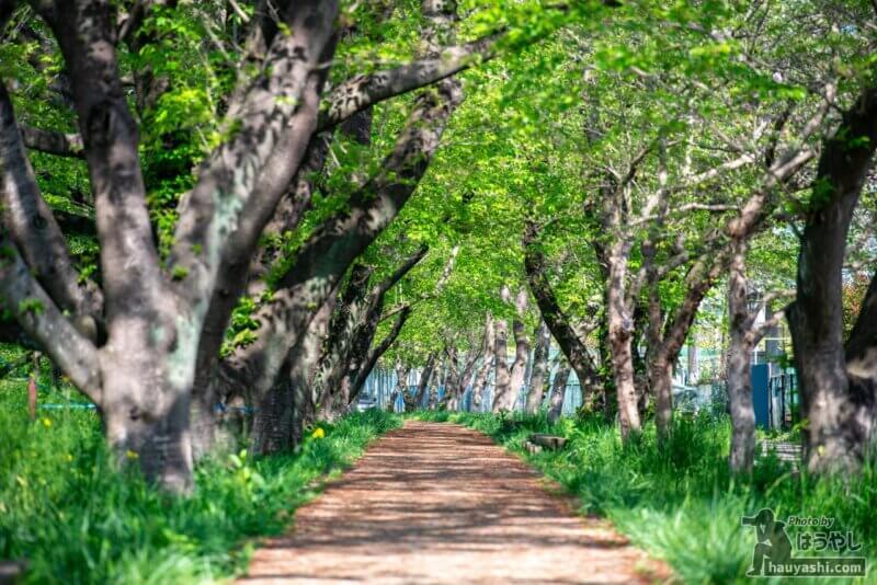 満開のシーズが終わった新緑の桜並木