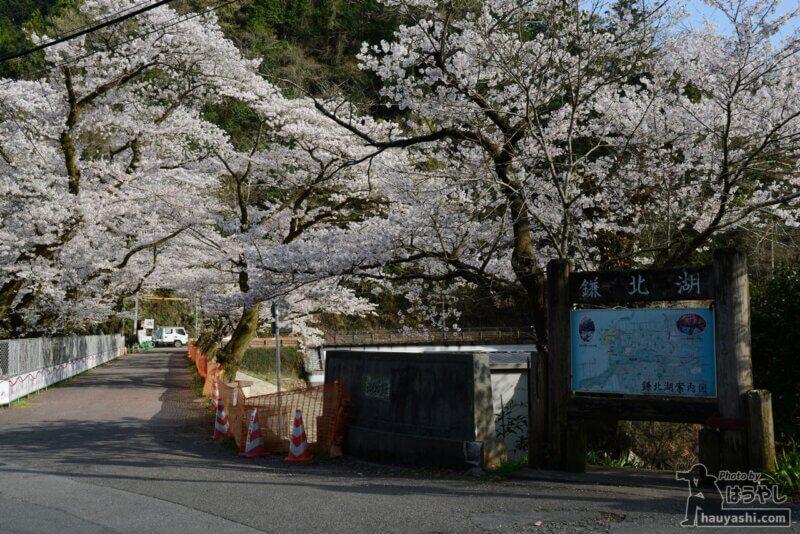 満開の桜が咲く鎌北湖